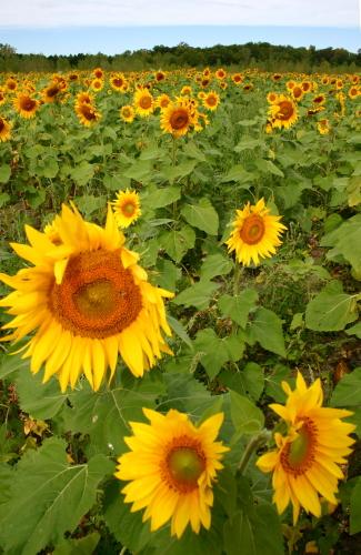 D-21-206 - Sun Flowers in a field. Sebewaing, MI.