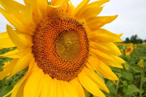 D-21-214 - Sun Flower in a field. Sebewaing, MI.