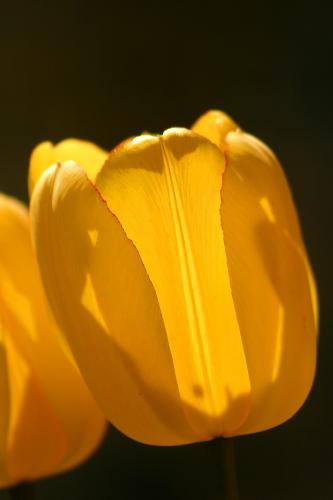 D-21-252 - Tulips backlit by the sun. Oak Beach, MI.