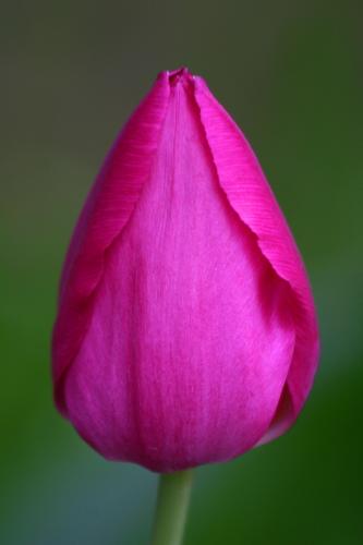 D-21-330 - Purple Tulip. Oak Beach, MI.