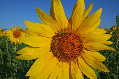 D-21-379 - Sunflowers in a field near Sebewaing, MI.