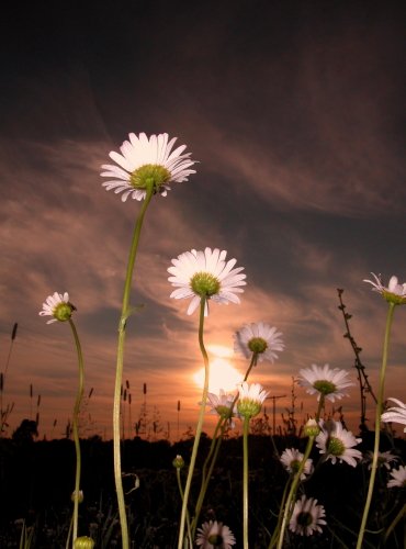 D-21-45 - Wild Daisies at sunrise. Caseville, MI.