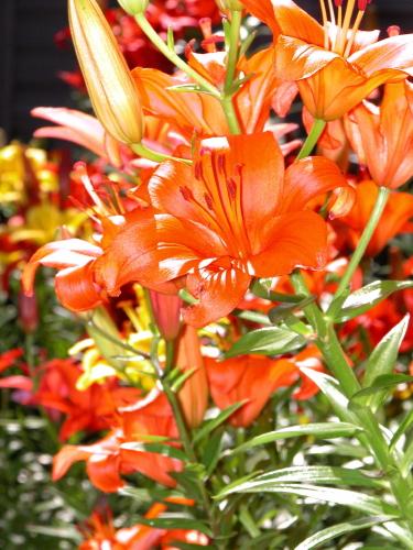 D-21-47 - Asian Lilies. Caseville, MI.