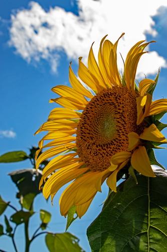 D-21-749 - Sun Flower. Bay Port, MI.