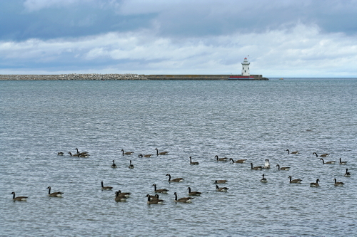 D-LH-171 - Harbor Lighthouse, with Canada Geese in the Municipal Harbor. Harbor Beach, MI.