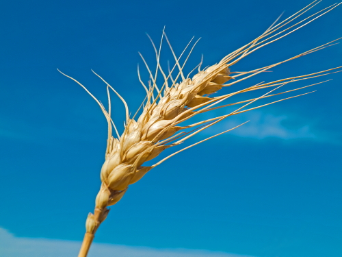 D-2-26 - Stalk of Wheat, Ready for Harvest. Pinnebog, MI.