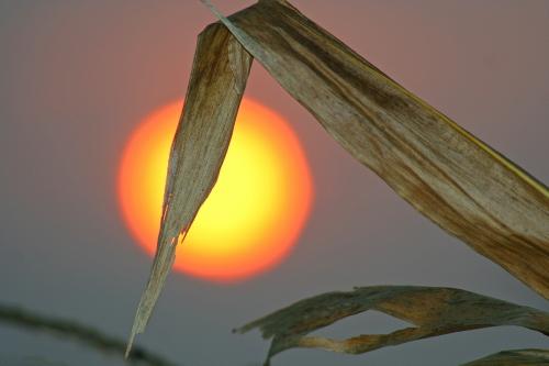 D-3-29 - Corn Stalk at Sunrise. Caseville, MI.
