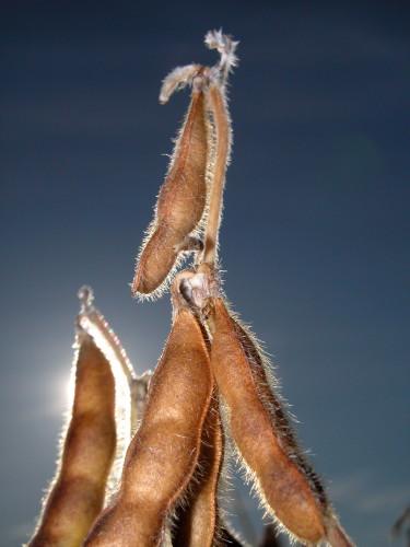 D-5-4 - Beans, ready for harvest. Caseville, MI.