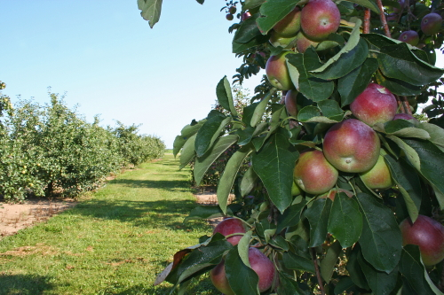 D-6-5 - Apples in an Orchard. Pigeon, MI.