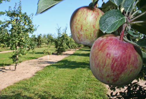 D-6-7 - Apples in an Orchard. Pigeon, MI.