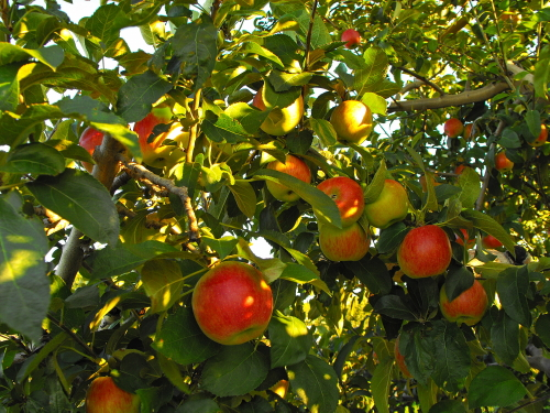 D-6-8 - Apples in an Orchard. Pigeon, MI.